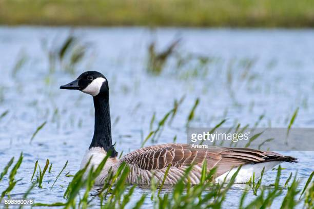 Canada goose swimming in shallow water of pond