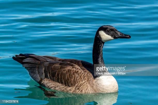 canada goose up close - サルニア ストックフォトと画像