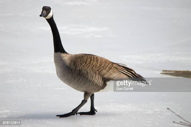 canada goose (branta canadensis) walking on ice - kanadagans stock-fotos und bilder