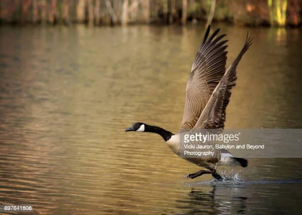 canada goose walking on water on take off - kanadagans stock-fotos und bilder