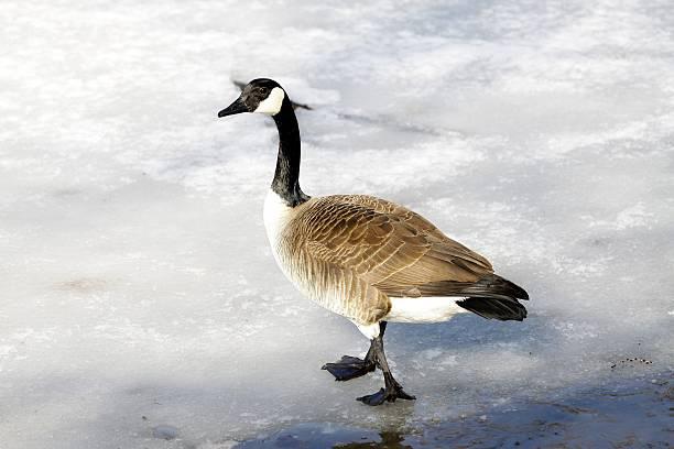 canada goose museum of nature