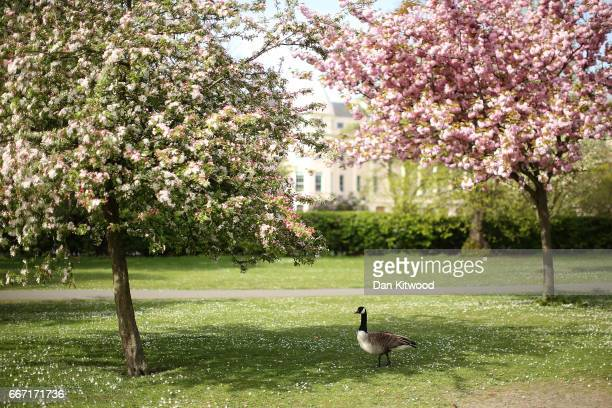 Canada Goose walks under blossoming trees in Regent's Park on April 11 2017 in London England Much of the UK is currently enjoying Spring sunshine...