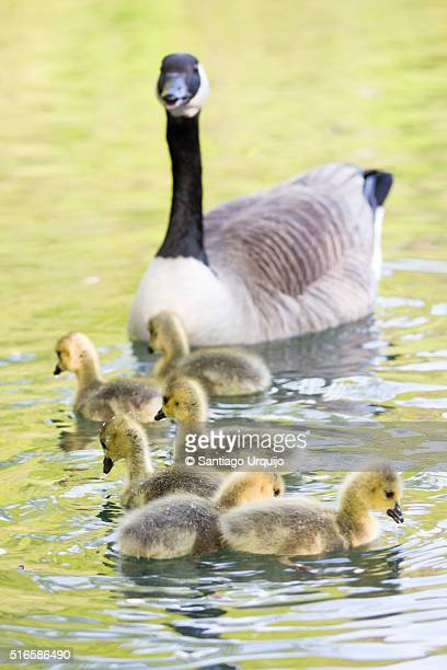 Canada goose with her ducklings swimming on a lake