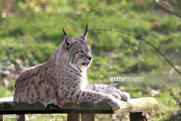 Canada Lynx Canada Lynx Lynx Canadensis Canada Lynx Lynx Feline Mammal