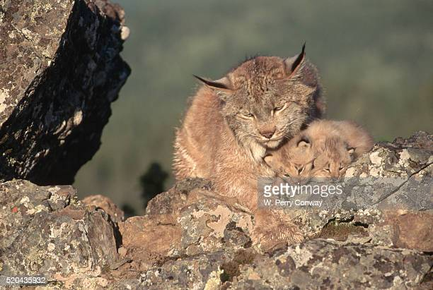 canada lynx family resting - canadian lynx stock pictures, royalty-free photos & images