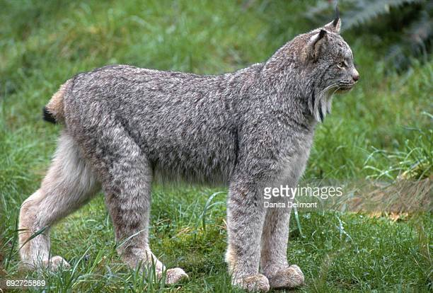 canada lynx (lynx canadensis) in alert - canadian lynx stock pictures, royalty-free photos & images