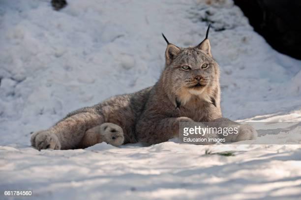 Canada Lynx in snow Northern Ontario Canada