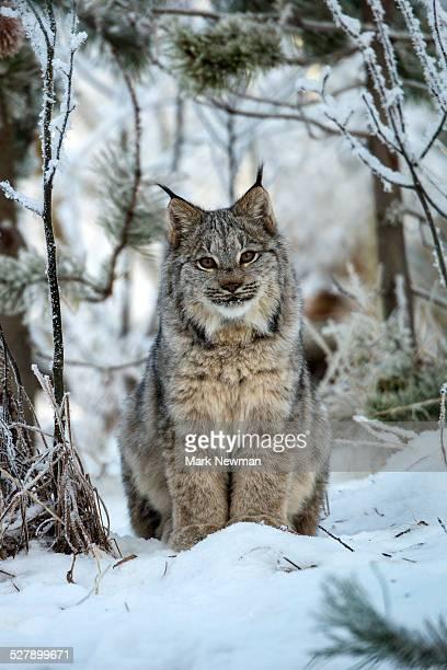Canada Lynx in snow