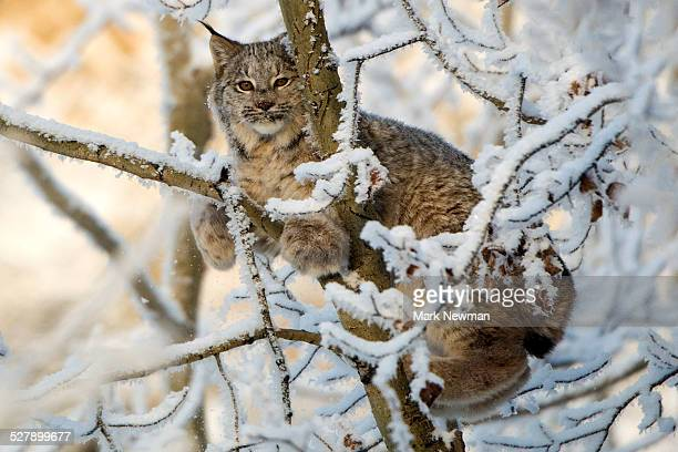 canada lynx in snow - canadian lynx stock pictures, royalty-free photos & images