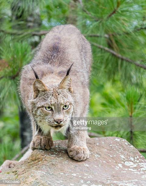canada lynx - lynx stock photos and pictures