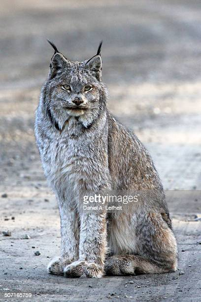 canada lynx - canadian lynx stock pictures, royalty-free photos & images