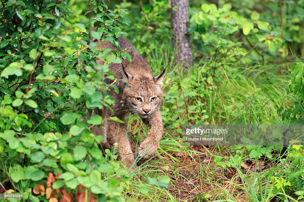 Canada Lynx prowling in woodland : Stock Photo