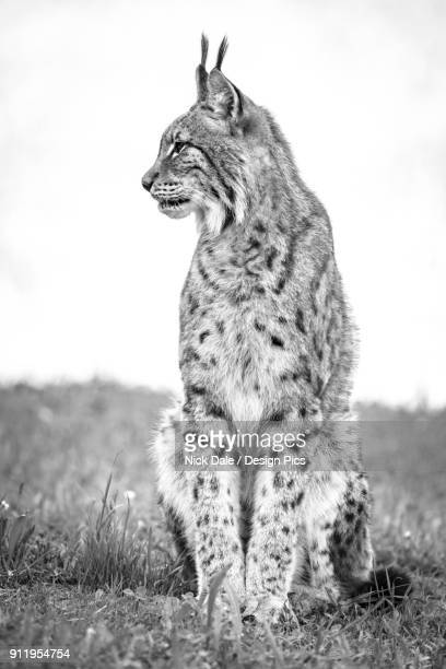 canada lynx (lynx canadensis) sits on grass looking sideways - canadian lynx stock pictures, royalty-free photos & images