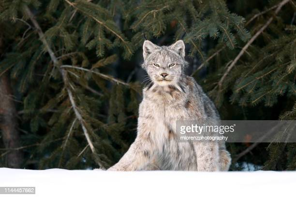canada lynx sitting - canadian lynx stock pictures, royalty-free photos & images