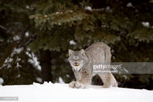 canada lynx walking - canadian lynx stock pictures, royalty-free photos & images