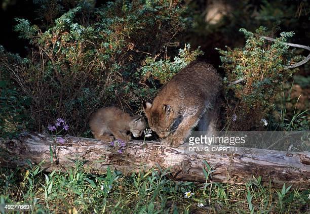 Canada Lynx with her cub Algonquin Provincial Park Ontario Canada