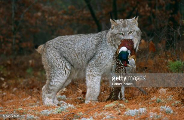 canada lynx with pheasant prey - canadian lynx stock pictures, royalty-free photos & images