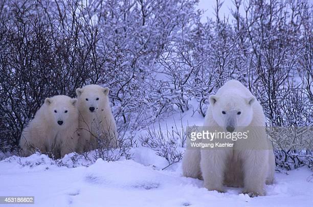 Canada Manitoba Near Churchill Polar Bear Mother With Cubs