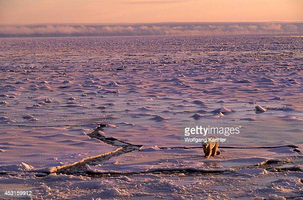 Canada Manitoba Near Churchill Polar Bear Walking On Sea Ice