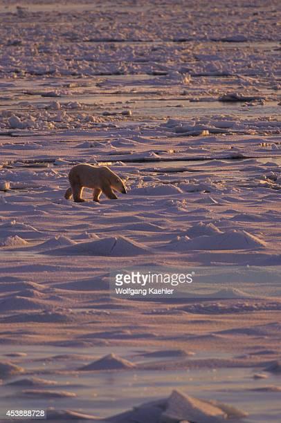 Canada Manitoba Near Churchill Polar Bear Walking On Sea Ice
