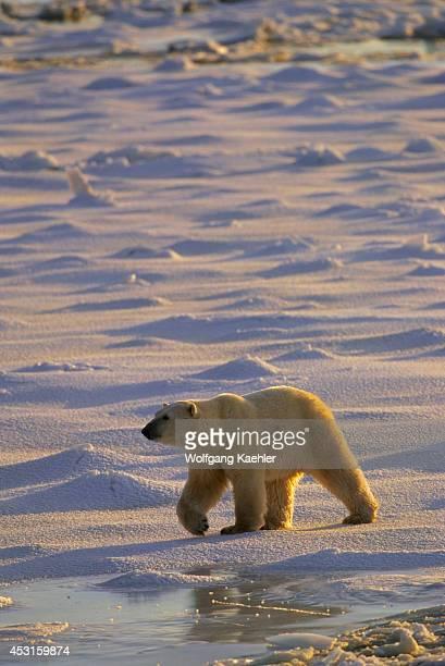 Canada Manitoba Near Churchill Polar Bear Walking On Sea Ice Polar Bear