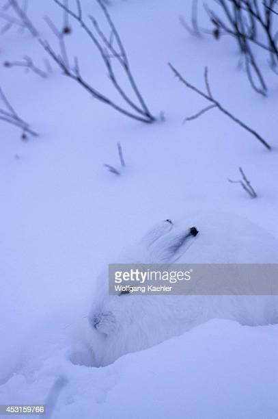 Canada Manitoba Near Churchill Tundra Arctic Hare Camouflage