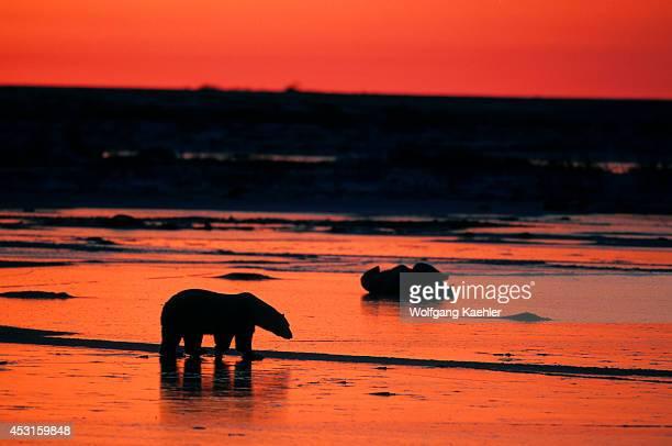 Canada Manitoba Near Churchill Tundra Polar Bear Silhouetted At Sunset Polar Bear