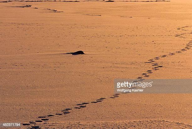 Canada Manitobachurchill Area Polar Bear Tracks In Snow