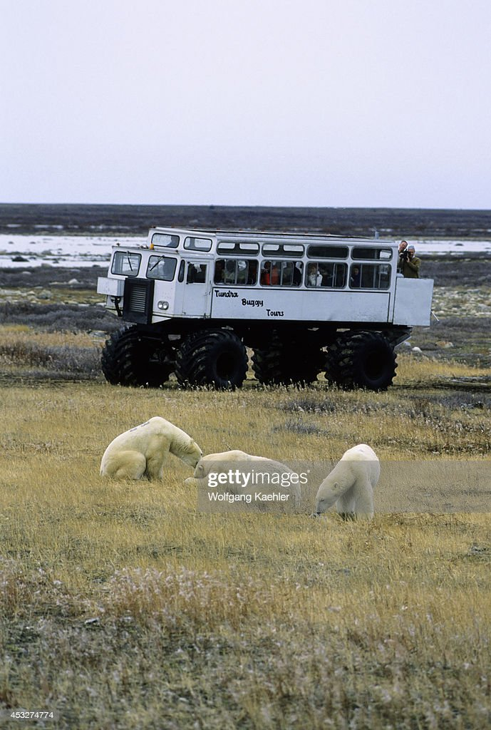 Canada, Manitoba,churchill Area, Polar Bears With Tundra... : News Photo