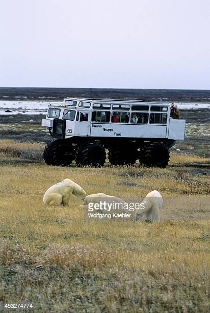Canada Manitobachurchill Area Polar Bears With Tundra Buggy