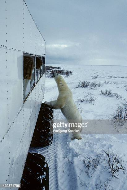 Canada Manitobachurchill Area Tundra Buggy And Polar Bear Standing Up Polar Bear