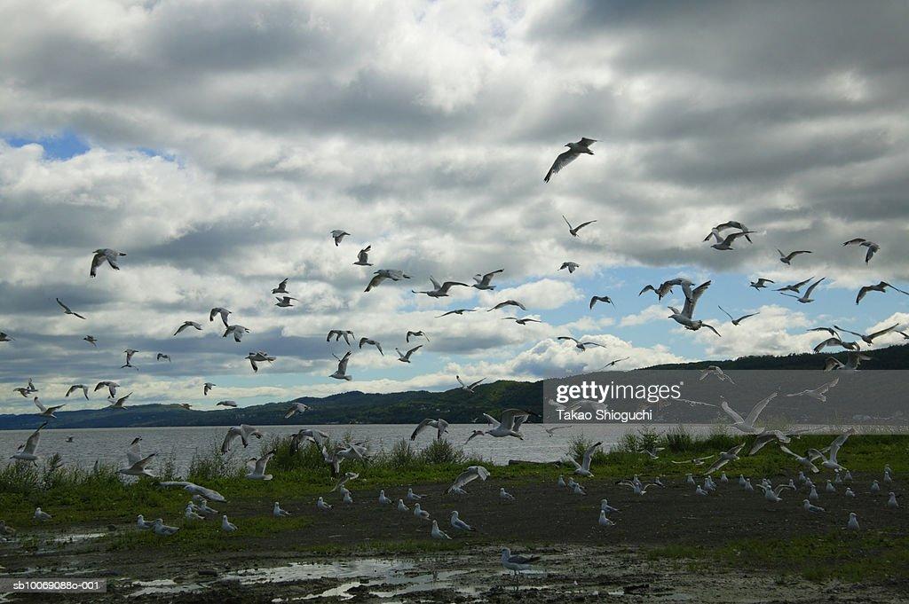 Canada, New Brunswick, Campbellton, Flock of seagulls flying : Stockfoto