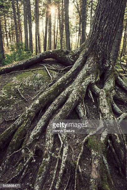Canada, Nova Scotia, Kejimkujik National Park and National Historic Site, Moss on roots