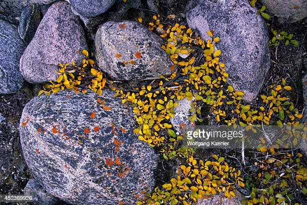 Canada Nunavut Hudson Bay Coats Island Cape Pembroke Gneiss Rocks With Arctic Willow In Fall