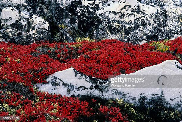 Canada Nunavut Hudson Bay Marble Island Bearberry And Caribou Lichen In Fall