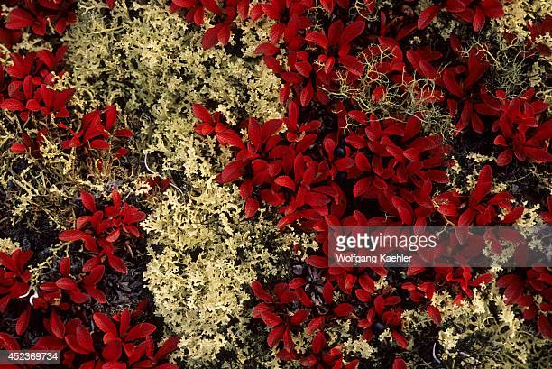 Canada Nunavut Hudson Bay Marble Island Bearberry And Caribou Lichens In Fall
