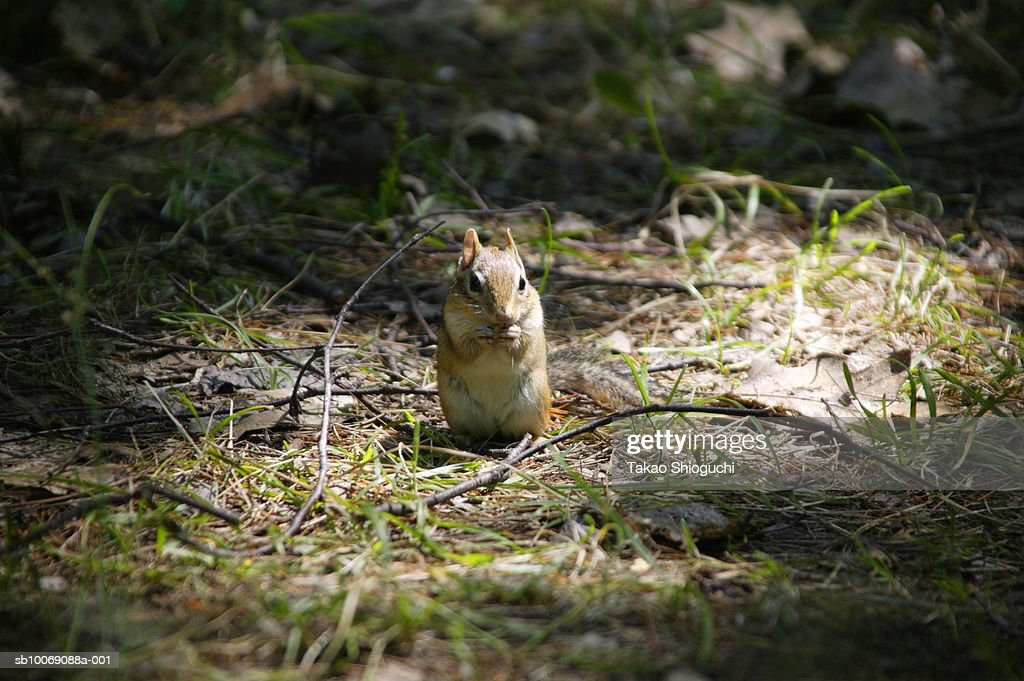 Canada, Ontario, Killbear Provincial Park, Brown squirrel eating nut : Stockfoto
