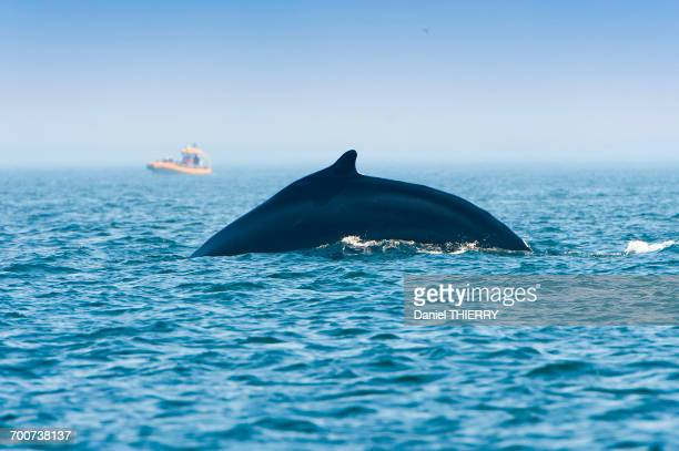 Canada, Province of Quebec. Estuary of the Saint Laurent. Tadoussac, world capital of whale watching. Back of a humpback whale getting ready to dive