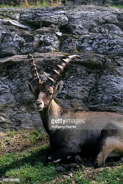 Canada Quebec Near Montebello Laurentians Parc Omega Alpine Ibex