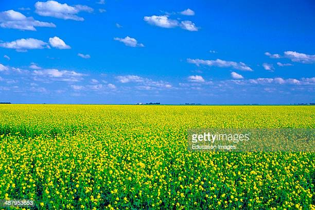 Canada Saskatchewan Province Canola Fields