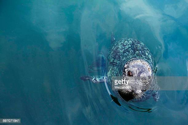 Canada, Vancouver Island, Longbeach, Harbour seal in water