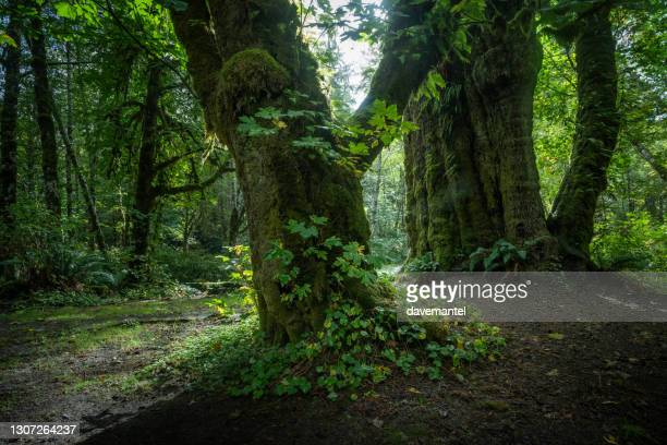 canada's largest spruce tree - biggest stock pictures, royalty-free photos & images