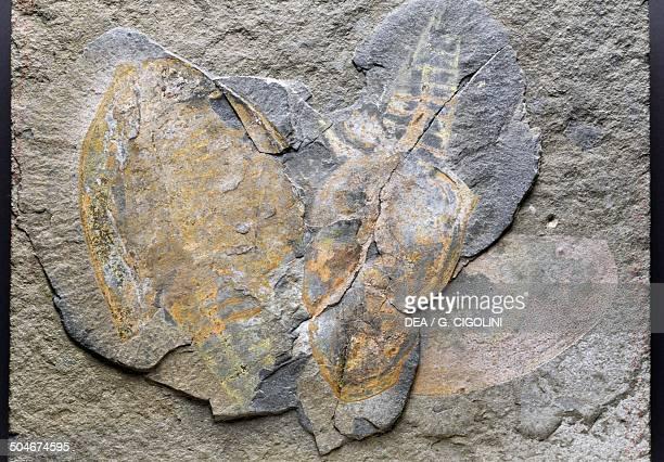 Canadaspis perfecta fossil Crustacea Cambrian