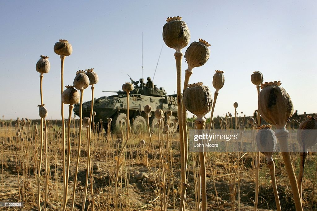 A Canadian armored vehicle sits beyond dried opium poppies as Canadian forces conduct a sweep for Taliban fighters June 14, 2006 in Panjwai, 30 kilometers southwest of Kandahar, Afghanistan. The Canadians, along with American and British forces, are part of Operation Mountain Thrust, which is the largest anti-Taliban operation since 2001. The offensive spans across southern Afghanistan and should last through the summer.