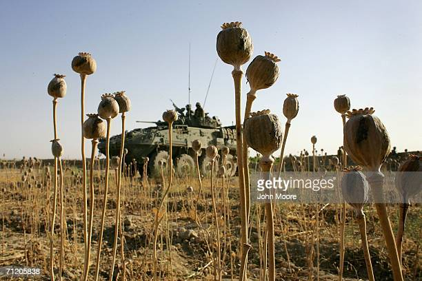 Canadian armored vehicle sits beyond dried opium poppies as Canadian forces conduct a sweep for Taliban fighters June 14 2006 in Panjwai 30...