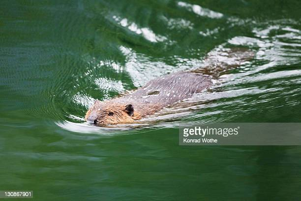 Canadian beaver (Castor canadensis) swimming, Alaska, USA, North America