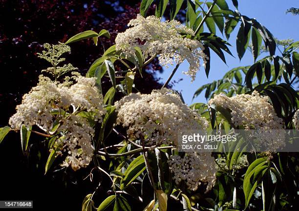 Canadian Elderberry leaves and flowers Caprifoliaceae