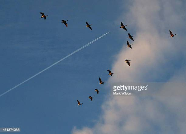 Canadian Geese fly in formation under a contrail from an aircraft January 8 2014 in Washington DC A polar vortex that has swept the east coast...