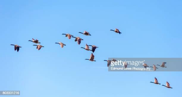 canadian geese in flight - vogelschwarm formation stock-fotos und bilder