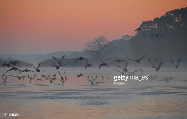 canadian geese migratory patterns - chesapeake bay stock pictures, royalty-free photos & images